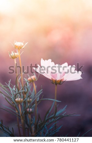 Beautiful cosmos flowers in the garden with sunlight. Vintage color style.