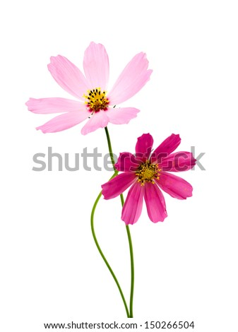 Beautiful Cosmos Flowers isolated on white background
