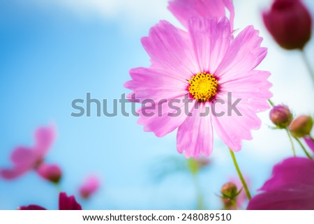 beautiful cosmos flowers on blue sky with day noon light. - stock photo