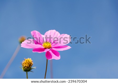 Beautiful Cosmos flowers with blue sky   - stock photo