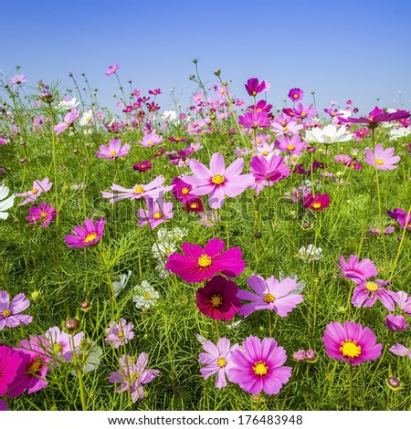 Beautiful cosmos in colorful background - stock photo