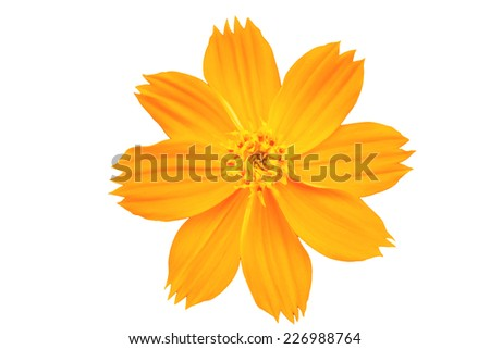 Beautiful cosmos or mexican aster flower on white background  - stock photo