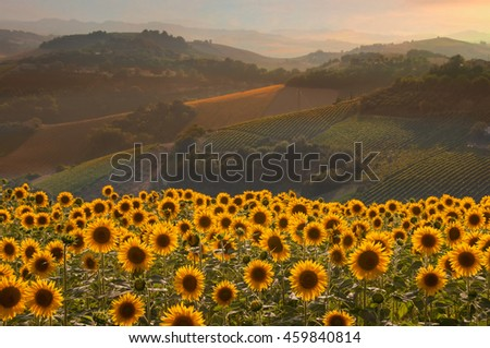 Beautiful countryside landscape with sunflowers