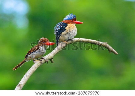 Beautiful couple of Banded Kingfisher birds perching on the branch, bird of Thailand - stock photo