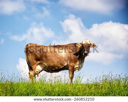 beautiful cow at a farm - stock photo