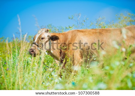 Beautiful cow in a field on a blue sky background