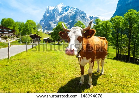 Beautiful cow looking in the camera on the green grass lawn - stock photo