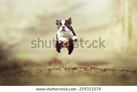 beautiful crazy flying boston terrier dog puppy - stock photo