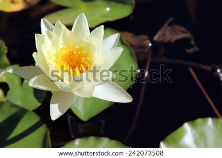 Beautiful cream color water lily flower in Queensland Australia - stock photo
