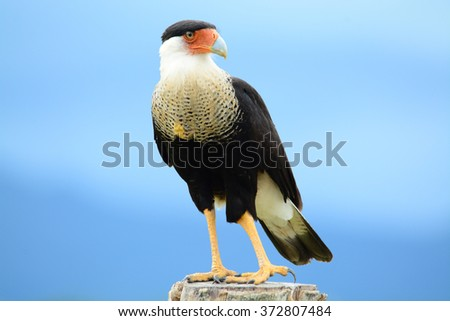 Beautiful Crested Caracara perched on a fence post with the blue sky of Panama in the background - stock photo