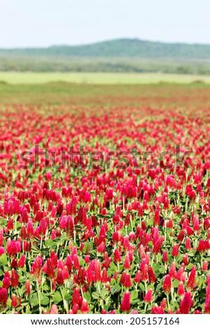 Beautiful Crimson clover flower field  - stock photo