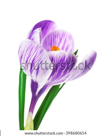 Beautiful crocus flower isolated on white - stock photo