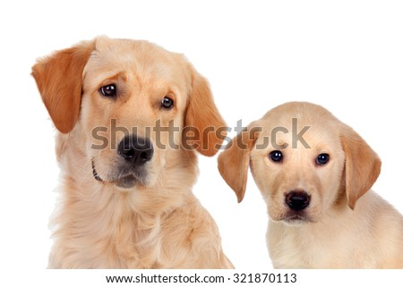Beautiful cub Golden Retriever with his father isolated on white background