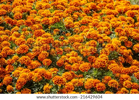 beautiful cultivated flowers in park ( Tagetes )