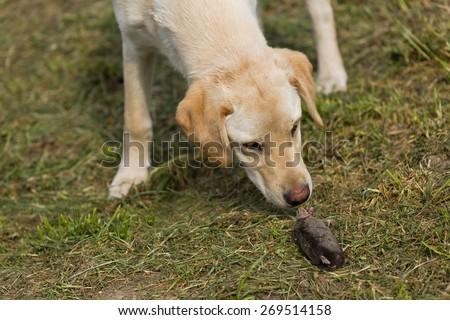 Beautiful Curious Golden Labrador Retriever Puppy Sniffing Dead Mole in the Garden, Selective Focus with Narrow Depth of Field. - stock photo