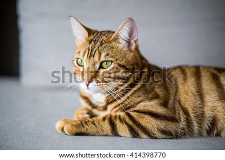Beautiful cute bengal cat lying on the sofa - stock photo