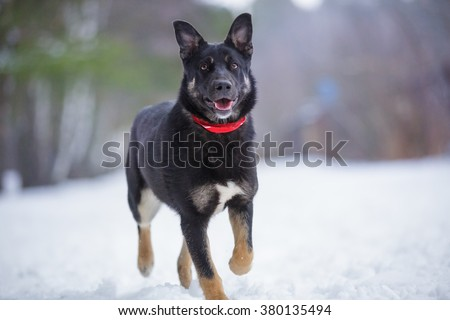 beautiful cute black and tan mutt dog in red bandana collar walking outdoor in winter forest
