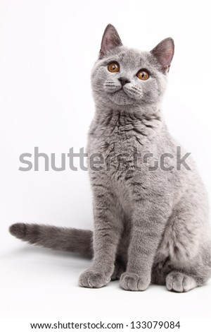 Beautiful cute cat British breed with straight ears