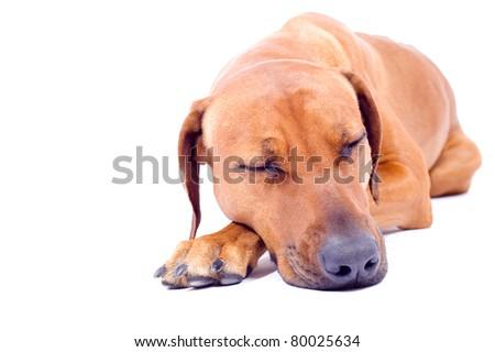Beautiful cute dog sleeping - stock photo
