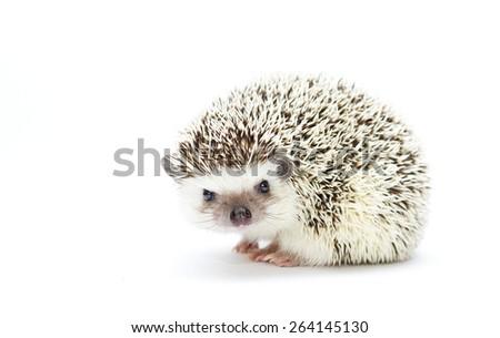 beautiful cute hedgehog baby rodent atelerix albiventris - stock photo