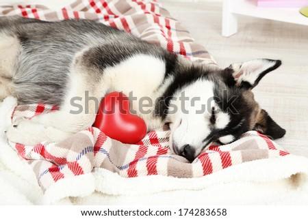 Beautiful cute husky puppy in room - stock photo