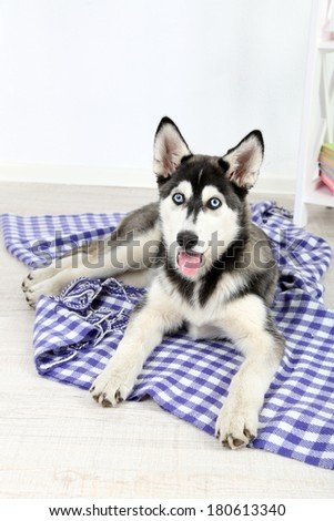 Beautiful cute husky puppy in room