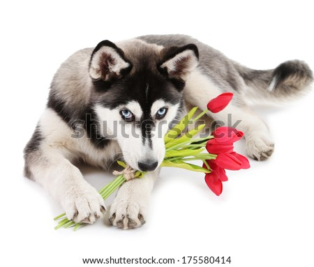 Beautiful cute husky puppy with flowers, isolated on white - stock photo