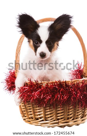 Beautiful cute papillon puppy with large black ears sitting in Christmas basket on isolated white background - stock photo