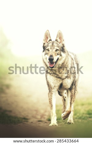 beautiful Czechoslovakian wolfdog dog puppy in spring - stock photo