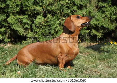 Beautiful Dachshund sitting alone in the garden - stock photo
