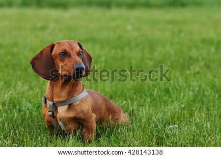 Beautiful Dachshund sitting in the garden - stock photo