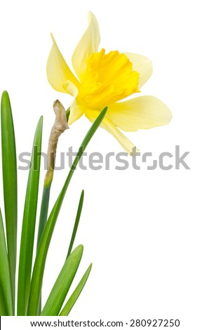 Beautiful daffodil isolated on white background