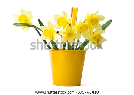 Beautiful daffodils in a yellow pot are isolated on a white background