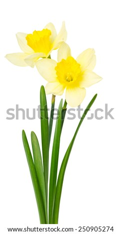 Beautiful daffodils isolated on white background - stock photo