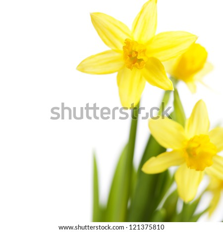 Beautiful daffodils on white background - stock photo