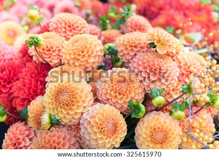 Beautiful Dahlia Flowers for Sale at Local Market - stock photo