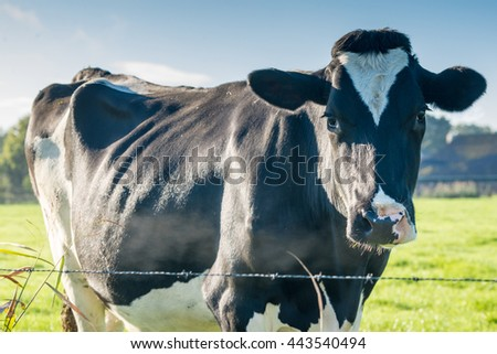 Beautiful dairy cow. Blue sky and green grass. Early morning sunshine. - stock photo