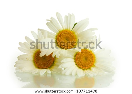 beautiful daisies flowers isolated on white