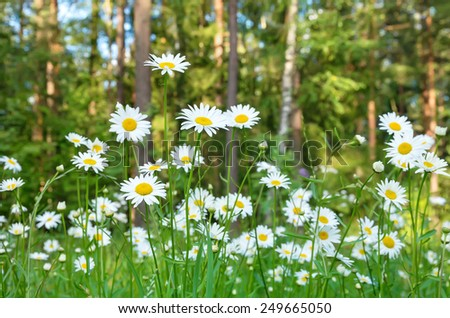 Beautiful daisies with forest in the background - stock photo