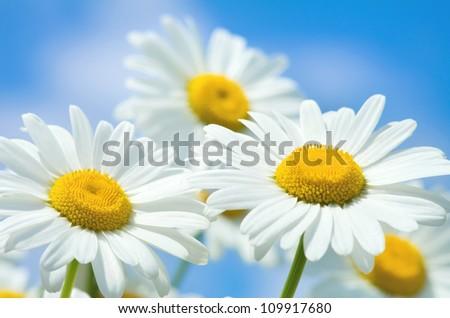 Beautiful daisy close-up - stock photo