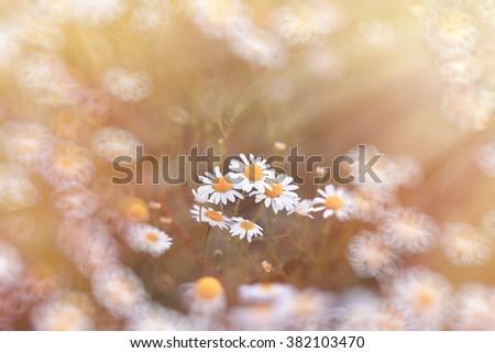 Beautiful daisy flower in meadow - wild chamomile - stock photo