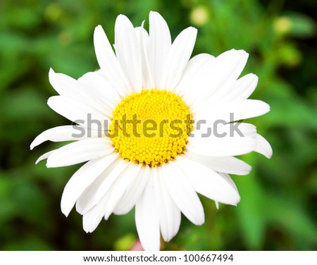 Beautiful daisy flower macro shot - stock photo