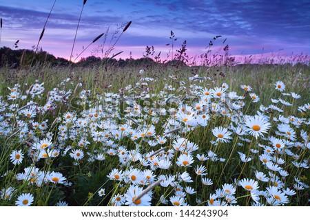 beautiful daisy flowers at pink summer sunset - stock photo