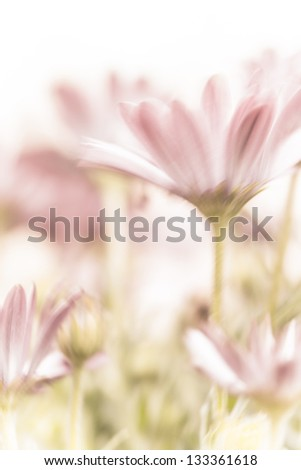 Beautiful daisy flowers fields, gentle pink flowers, soft focus, warm spring nature, tender wildflower - stock photo