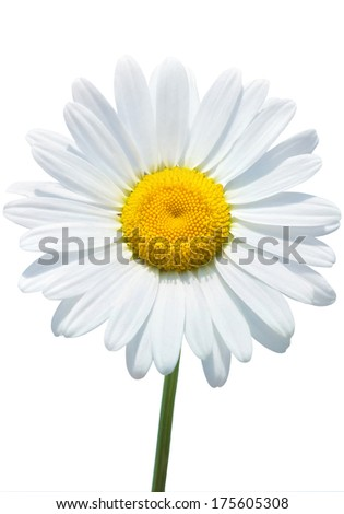 Beautiful daisy isolated on white background - stock photo