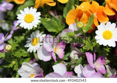 Beautiful daisy, pansy and orange flowers under the sunlight in Osaka, japan