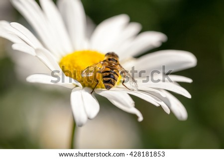 Beautiful daisy with bee and natural background