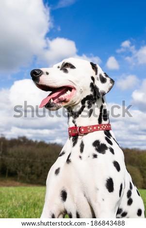 Beautiful dalmatian enjoying the English spring sun. - stock photo