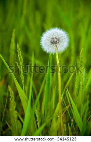 beautiful dandelion in the grass