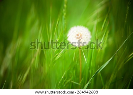 Beautiful dandelion with green grass background - stock photo